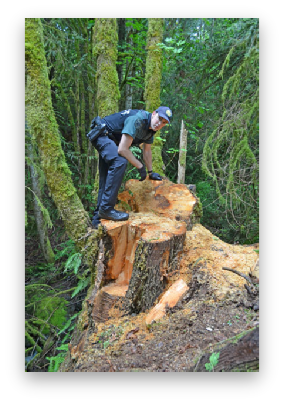 Deputies investigating a maple theft site in Quilcene